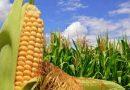 Agricultura levanta la suspensión de las exportaciones de maíz hasta marzo