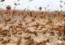 Alerta por las langostas: hay seis mangas en Argentina y una de ellas amenaza a Córdoba