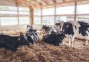 EE.UU: Las moscas constituyen un gran problema para las lecherías