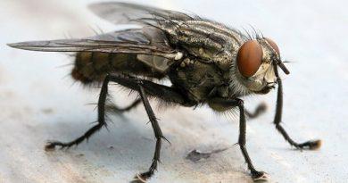 (🔊 ) – ¿ Porqué hay tantas moscas ? – Explicó Raúl Druetta desde INTA Brinkmann