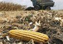 La Niña dice presente de nuevo: ¿cuánto podrían caer los rindes de maíz?